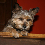 Killo  - Yorkshire Terrier
