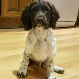 George (English Springer Spaniel)