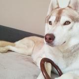 Akira (Siberian Husky)