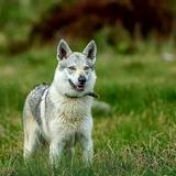 Saffi (Czechoslovakian Wolfdog)