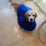 Kizzy (Beagle)