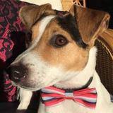 Bernard (Jack Russell Terrier)