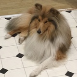 Alfie (Rough Collie)