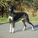 Benito (Berber Windhund)