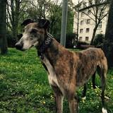Darcy (Großer Englischer Windhund)