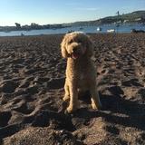 Bailey (Poodle Miniature)