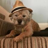 Baxter (Border Terrier)
