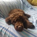 Coco (Poodle Miniature)