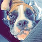Ozzy (Boxer)