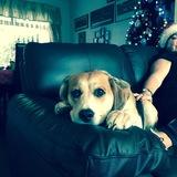 Buddy - Beagle