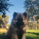 Oscar (Spitz Loup)