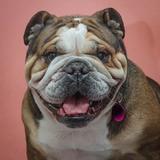 Lilu (Bulldog Inglés)