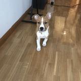 Luna - American Staffordshire Terrier