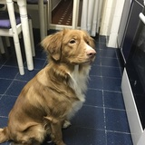Newton - Nova Scotia Duck Tolling Retriever