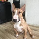Cesar (Bull Terrier)
