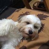Ellie (Tibetan Terrier)