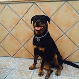 Suri (Rottweiler)
