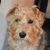 Niko (Fox Terrier De Pelo Duro)