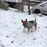 Elvis (Miniature Bull Terrier)