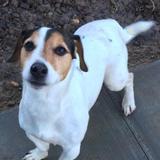 Spot (Jack Russell Terrier)