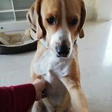 Teddy  (Foxhound Inglés)