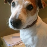Roxy - Parson Russell Terrier