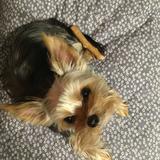 Nina (Yorkshire Terrier)
