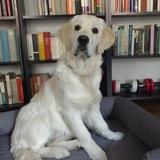 Greta (Golden Retriever)