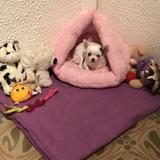 Hannia - Chihuahua