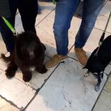 Sombra - Perro De Aguas Francés