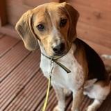 Oscar (Beagle)
