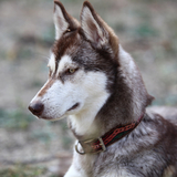 Utah - Husky Siberiano