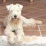 Mia (Lakeland Terrier)