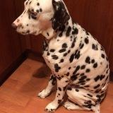 Kelly (Dalmatian)