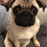 Earl (Pug)