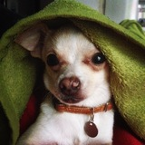 Bobby (Chihuahua)