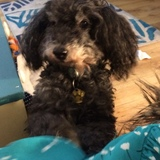 Digby (Poodle Miniature)