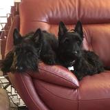Jock & Ruby (Scottish Terrier)