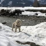 Pepe (Spanischer Wasserhund)