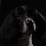 Bailey (English Springer Spaniel)