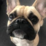 Pepa  - Bulldog Francés