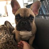 Rocco - Bulldog Francés
