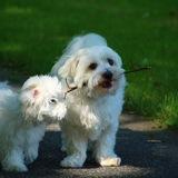 Sam & Josy  (Malteser)