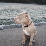 Finn (Amerikanische Bulldogge)