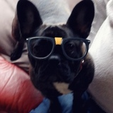 Stella (French Bulldog)