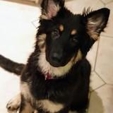 Kiki (German Shepherd Dog)