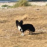 Billy (Chihuahua)