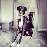 Milo (Italian Greyhound)