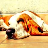 Otto (Basset Hound)