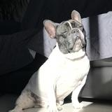 punto - Bulldog Francés